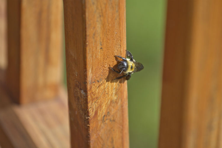 Carpenter Bees Are Bad Business. Let Our Pros Help.